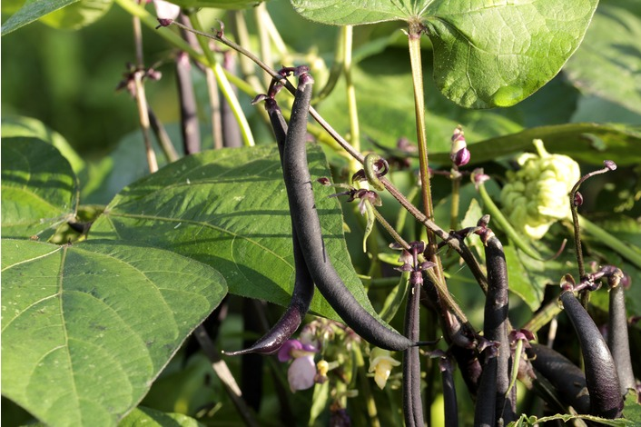 Climbing French Bean - Cosse Violet Seeds