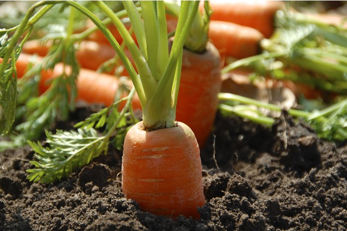 Carrot - Long Red Surrey Seeds