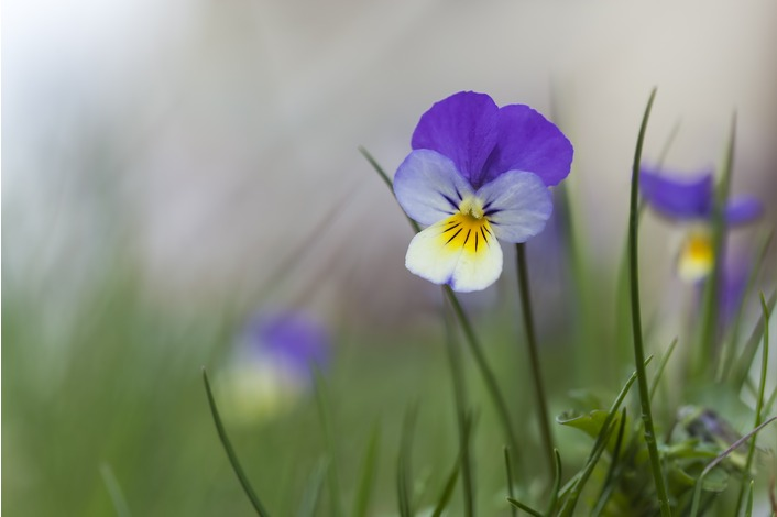Heartsease - Viola tricolour Seeds