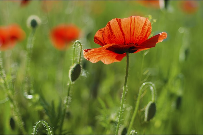 Field Poppy - Papaver rhoeas Seeds